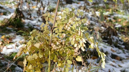 Yellow dry bush of a grass on a wind