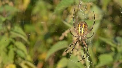 Wespenspinne, Wasp spider, Argiope bruennichi