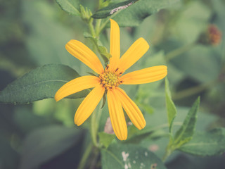 Yellow Daisy with vintage filtered effect
