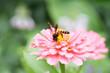 Obrazy na płótnie, fototapety, zdjęcia, fotoobrazy drukowane : Bee on the pink flower