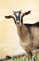 Goat,pet