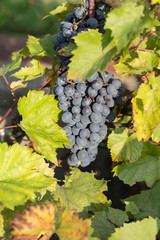 bunch of red grapes on the vine with green leaves