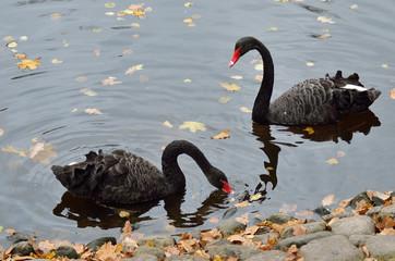 Пара черных лебедей в пруду Михайловского сада