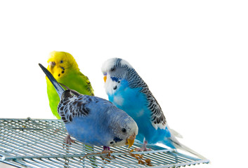 three budgerigars on cage, white background