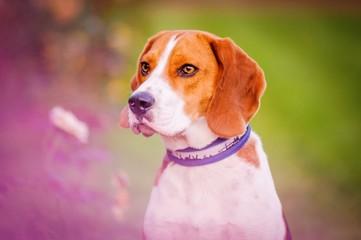 Stolzer Beagle