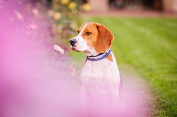 Freundlicher Gefährte (Beagle)
