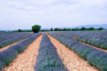 Lavendelfeld in Frankreich