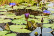 canvas print picture - Buds purple water lily on the lake