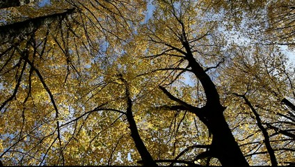 Linden branches in autumn.