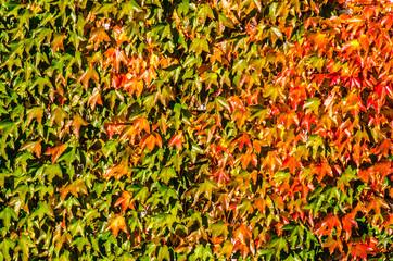 Herbstliche Efeu Blaetter in rot und gruen