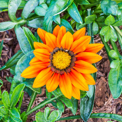 Orange Gazania splendens flower