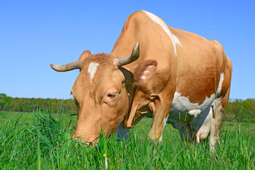 Cow on a summer pasture