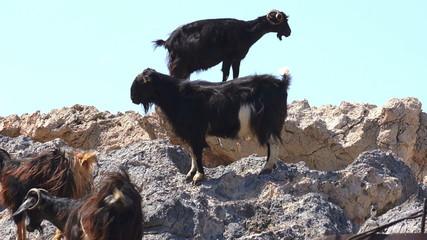 Goats on stones