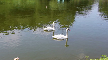 Swans And Geese On The Pond