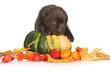 adorable puppy on a pumpkin