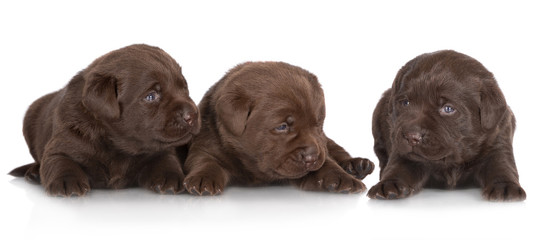three beautiful labrador retriever puppies