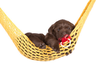 cute little puppy in a hammock with pacifier