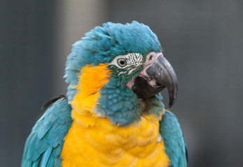 Caninde Blue Throated Macaw parrot