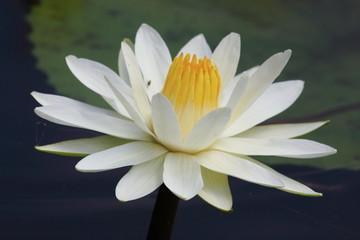 ninfea pianta acquatica