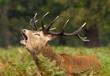 Roaring stag deer during the rut