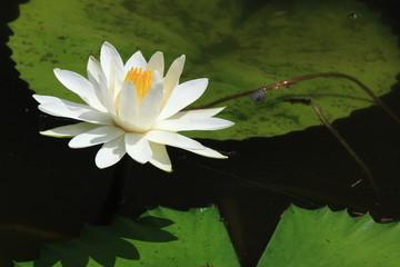 ninfea pianta acquatica di palude