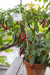Red Chili Plant