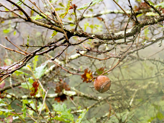Oak apple, gall. Early autumn morning wth dew.