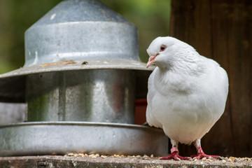 White pigeon dove sat by feeder