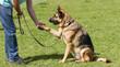 German Shepherd Dog sat giving paw - 71775843