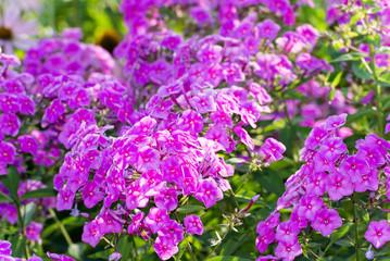 Pink Phlox flower - genus of flowering herbaceous plants