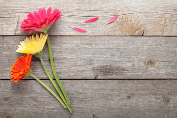 Three colorful gerbera flowers