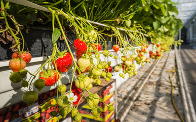 Strawberries growing in a modern glasshouse