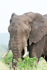 A large wild African Elephant feeding on leaves in the rain