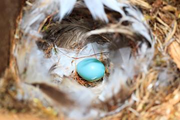 Nest of the Phoenicurus phoenicurus, Redstart.