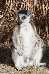Ring-tailed lemur Catta
