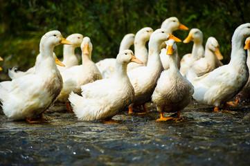 Ducks floats on water