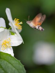 Kolibri Schwärmer