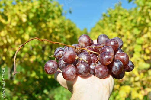 canvas print picture Bunch of grapes in the hands