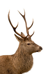 Deer profile