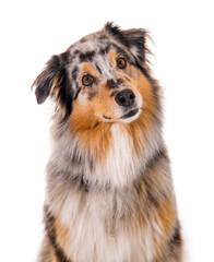 Australian Shepherd Hund im Portrait
