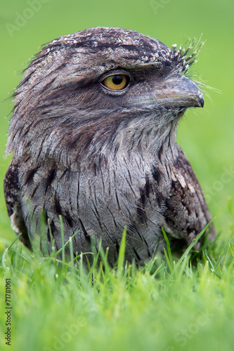 Fotobehang Uil Tawny Frogmouth