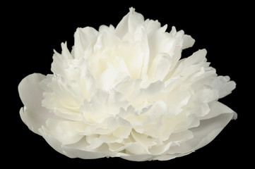 White Peony Flower on Black Background