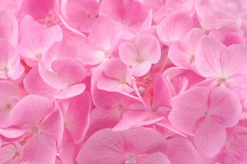 Beautiful Pink Hydrangea Flower Background