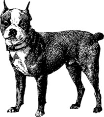 Vintage illustration highbred dog boston terrier