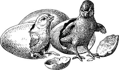 Vintage illustration chickens birth