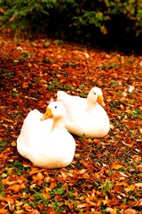 Two white ducks in the Fall Leaves