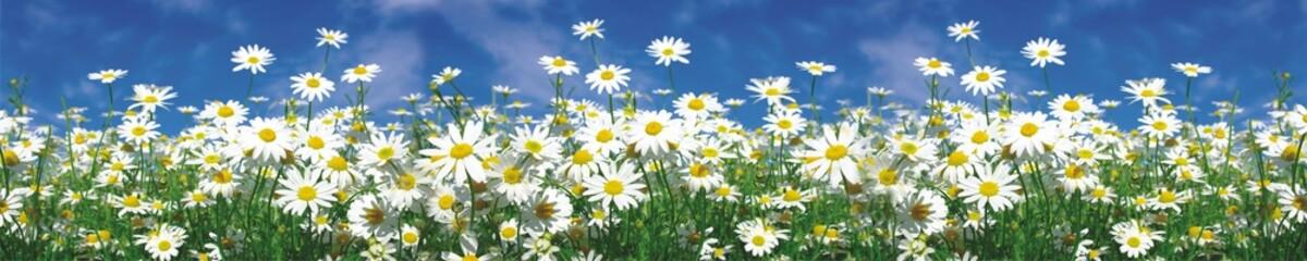 panorama of daisies