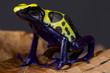 Dart frog / Dendrobates tinctorius