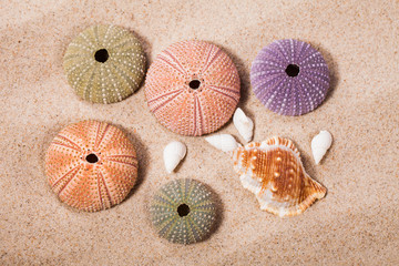 Sea Hedgehog shells on beach  sand