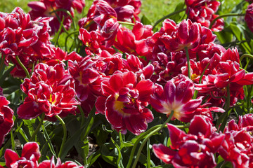 Red Tulips in Keukenhof Flower Garden,The Netherlands